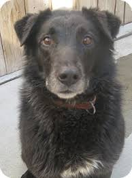 australian shepherd and lab mix black jack adopted adopted dog chicago il labrador