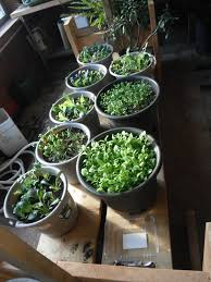 green roof growers growing cool weather greens indoors
