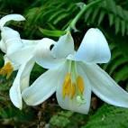 Beyaz Zambak Çiçek ve Yapraklarındaki Şifa | Alternatif Tedavi ...