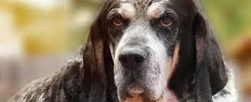 training a bluetick coonhound to hunt bluetick coonhound breed profile choosing a bluetick coonhound