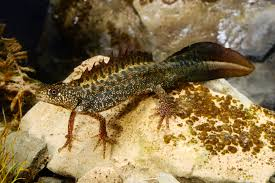 Macedonian crested newt