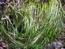Image result for Phyllospadix scouleri