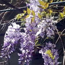 Wisteria Home Decor by Meaning Of Flower Colors Smell The Flowers Blog Wisteria By Com
