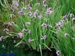 Image result for Iris versicolor