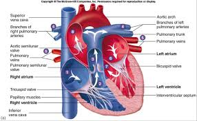 Structure Of Human Anatomy Human Heart Gross Structure And Anatomy Online Biology Notes