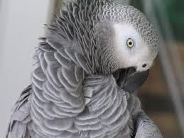 perroquet gris