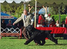 belgian sheepdog national specialty 2018 conformation dog shows american kennel club
