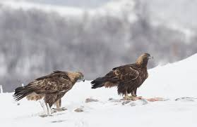 blagodaria to the golden eagles of bulgaria natures images