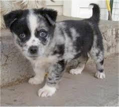 6 month old mini australian shepherd aussie corgi dog breed information