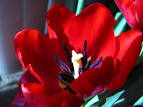 Image result for tulip close up