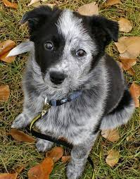 husky x australian shepherd for sale best 25 blue heeler dog ideas on pinterest cattle dogs facts