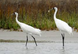 southeast texan arrested in killings of 2 whooping cranes kxan com