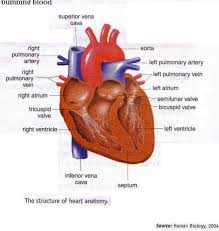 Structure Of Human Anatomy Structure Of Heart Anatomy And Blood Pathway In Heart New