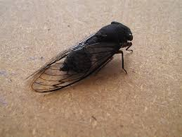 image of a black cicada, borrowed from t2.gstatic.com