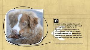 australian shepherd qualities dog facts australian shepherd originated in europe not in