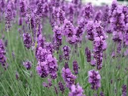 Lavender_Hoa rực rỡ những sắc màu Images?q=tbn:ANd9GcTIQeSUSA4Kk6L_uFrBckDPqEfbpvrYjwn5BLnenOvDGl1xV11Mtg