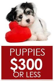 american pitbull terrier for sale in dallas texas puppies for sale lancaster puppies