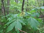 Image result for Aesculus flava