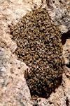 بچه طبیعی زنبور عسل