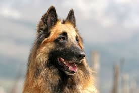 belgian shepherd uk breeders belgian shepherd breed information pet365