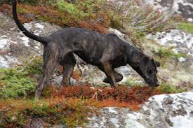 training a bluetick coonhound to hunt how to train a bear hunting dog liveoutdoors