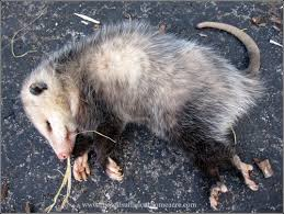 How Do You Get Rid Of Possums In The Backyard by Possum In The Hen House U2013 The Self Sufficient Homeacre