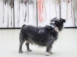 buy a affenpinscher luxe handmade dog accessories from prunkhund