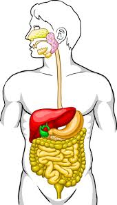 21 best digestive system images on pinterest body systems life