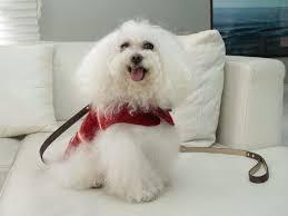 Conheça a vida luxuosa de Sissi, a cadelinha da ricaça Brunete ...