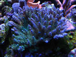 Image result for Acropora desalwii
