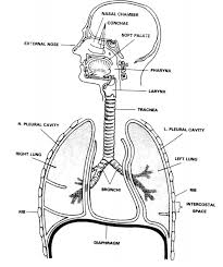 Anatomy And Physiology Of Lungs Human Anatomy U0026 Physiology The Respiratory System