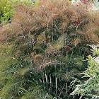 Image result for bronze fennel
