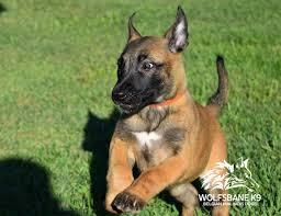 belgian sheepdog breeders in texas top 17 idei despre malinois puppies for sale pe pinterest