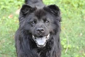 belgian sheepdog chow mix tucker ga chow chow meet tyson a dog for adoption