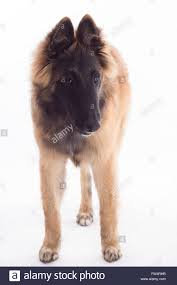 belgian shepherd tervuren belgian shepherd tervuren dog puppy six months old standing