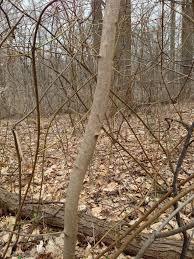 White Oak Bark Sugar Maple Bark And Trunk Young Specimen The Sanguine Root