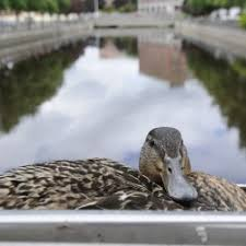 black friday home depot rockland maine lincoln firefighters rescue five ducklings from sewer u2014 state