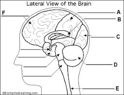 Sheep Brain Anatomy Game Quiz Brain Anatomy