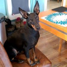 belgian malinois ear cropping manchester terrier dog breed information pictures