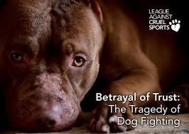 Cães são explorados em lutas todos os dias no Reino Unido