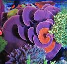 Image result for Montipora capricornis