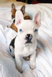 husky x australian shepherd for sale 11 of the cutest and funniest french bulldog mixes