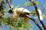 Image result for Propithecus deckenii
