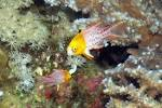 Image result for Bodianus anthioides