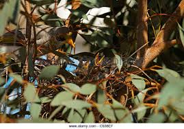 Yellow Throated Miner   Manorina flavigulla   Nest  Western Australia   Stock Image