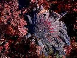 Stella marina girasole
