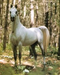 تاريخ الحصان العربي في العالم Images?q=tbn:ANd9GcTQp1sfRJWAJNuK3Bfb87GBRykA8-74_cOrUutPdgM5WJgmwTrFUw