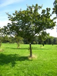 Acer ginnala