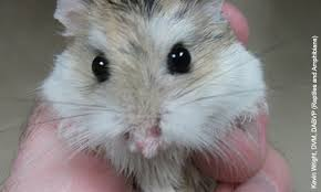 This hamster has hair loss on