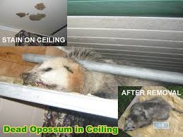 How Do You Get Rid Of Possums In The Backyard by Opossum Poison To Kill Possums